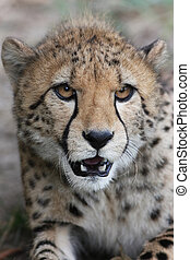 Portrait of a Cheetah - Acinonyx jubatus