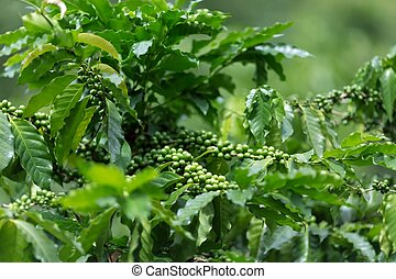 Coffee tree plantation with unripe seeds in Asia