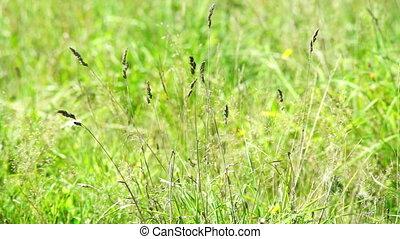 Summer meadow grass