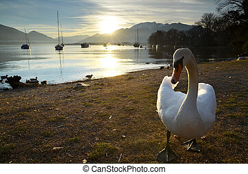 Swan in backlight with mountains and a lake with sailing...