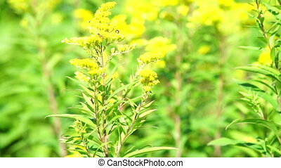 Yellow flowers on summer meadow - Bright tellow flowers on...