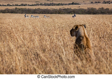 Which ones lunch? - A lioness surveys the bushveld for prey