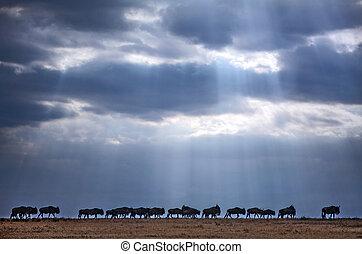 Wildebeest crossing - Wilderbeests during the migration