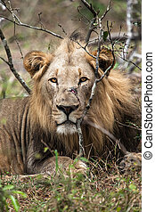 Male lion - A male lion watches from the bushes