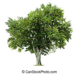 osamocený, jablko, strom