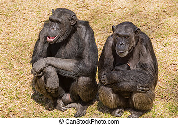 Three wise chimps - Male adult chimps sitting next to a...