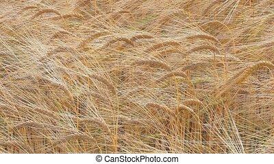 Barley Field - Close up of Barley Field