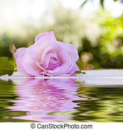 rose flower with reflection