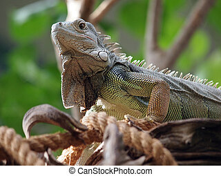 Iguana enjoying the sun on a liane