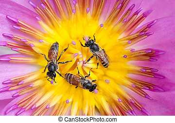 Bees in waterlily - Three tiny bees in circle gathering...