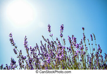 Lavender flower with blue sky2