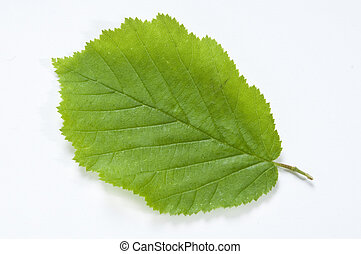 Beech Leaf - A new Beech Leaf on clean white background with...