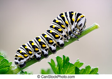 Black Swallowtail Caterpillar on Parsley - Caterpillar of a...