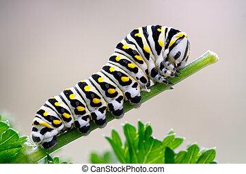 Black Swallowtail Caterpillar on Parsley - Caterpillar of a...