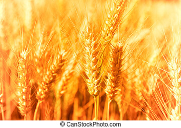 Golden Harvest - Golden glowing wheat field in Germany
