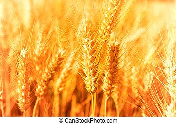 Golden Harvest - Golden glowing wheat field in Germany