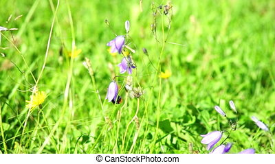 Bumble-bee inside harebell flower - Bumble-bee inside...