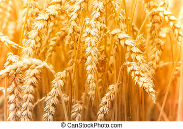 Wheat field in Germany
