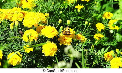 Butterfly on yellow marigold flowers