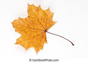 Autumn leaf - A London Plane tree leaf in autumn colours on...