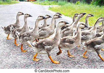 Gaggle of young domestic geese go on the road in a village