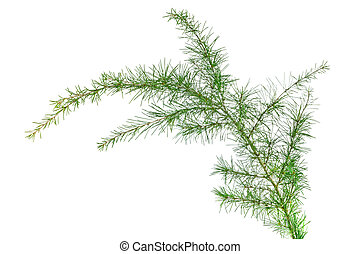 cedar branch isolated on white background