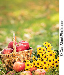 Basket with red apples in autumn - Basket with red apples...