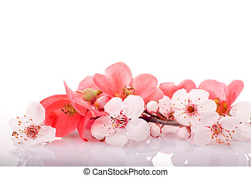spring blossom - fruit-tree flowers on white background with...