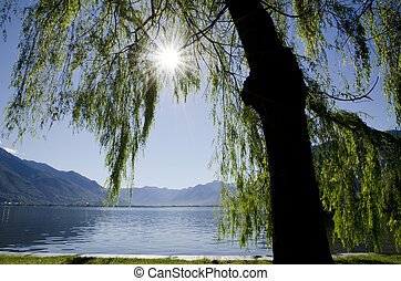 Tree on lakefront with mountain - Tree in backlight and on...