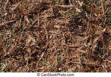 Fir needle - Red fir needles in autumn