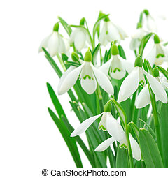 Snowdrops Galanthus nivalis on white background - Spring...
