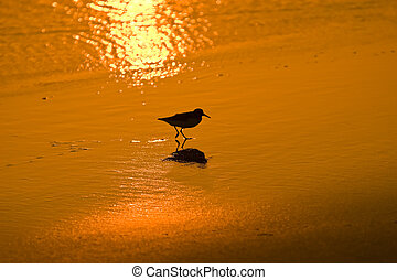wading bird at sunset - a little wading bird walking on a...