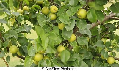apple pear tree with ripe fruit