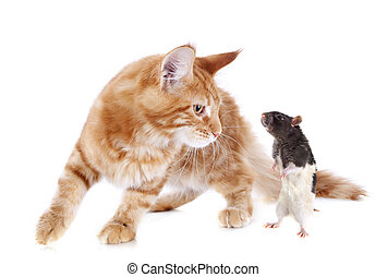 maine coon kitten and rat - portrait of a purebred maine...