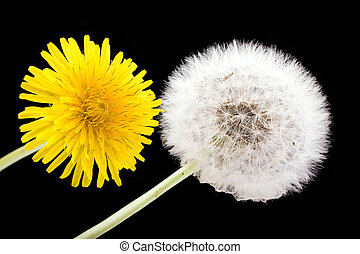 dandelion flower and seeds isolated on black background