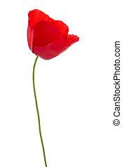 poppy on white - red poppy flower isolated on white...