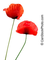 two poppies isolated on white - two red poppies isolated on...