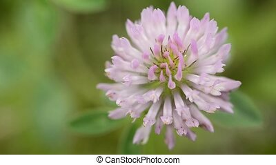 red clover bloom, medicinal plant