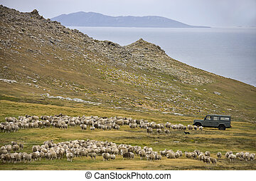 Sheep Farming - Carcass Island - Falkland Islands - Sheep...