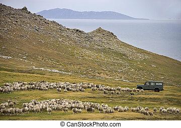 Sheep Farming - Carcass Island - Falkland Islands - Sheep...