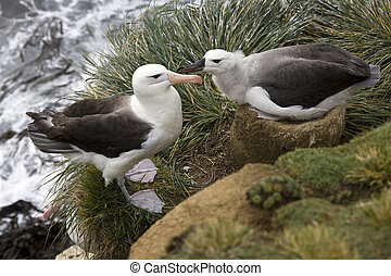 Black-browed Albatross mother and young - Falklands Islands...
