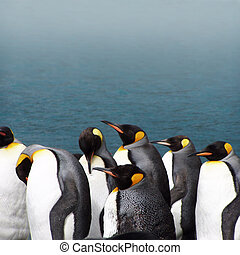 King penguins - King penguin Aptenodytes patagonicus at the...