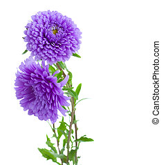 tree aster lilac flowers - tree aster lilac flowers isolated...