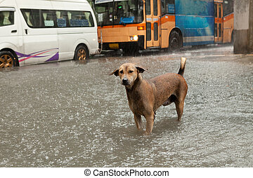 poor street dog standing in rain flood water with traffic...