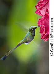 Booted Racket-tail Hummingbird - Male Booted Racket-tail...