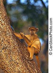 Vervet Monkey - Botswana