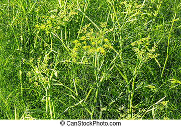 Dill growing in the garden