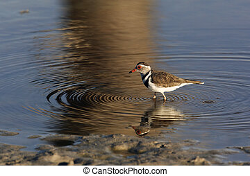 Threebanded Plover Charadrius tricollaris - Namibia - A...