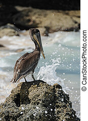 Standing Pelican with wave crashing on Rock. Colombia. Playa...