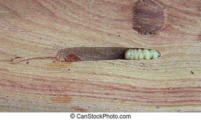Great Capricorn Beetle Larva, Cerambyx cerdo